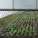 bigstock_Greenhouse_With_Cultivated_Fre_1015141